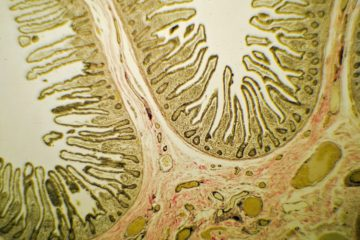 Small Intestine Slide Through Microscope