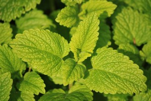 lemon-balm-herb
